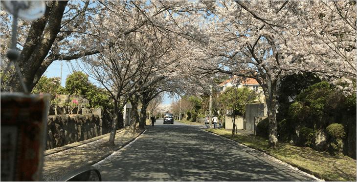 伊豆のさくら並木道01